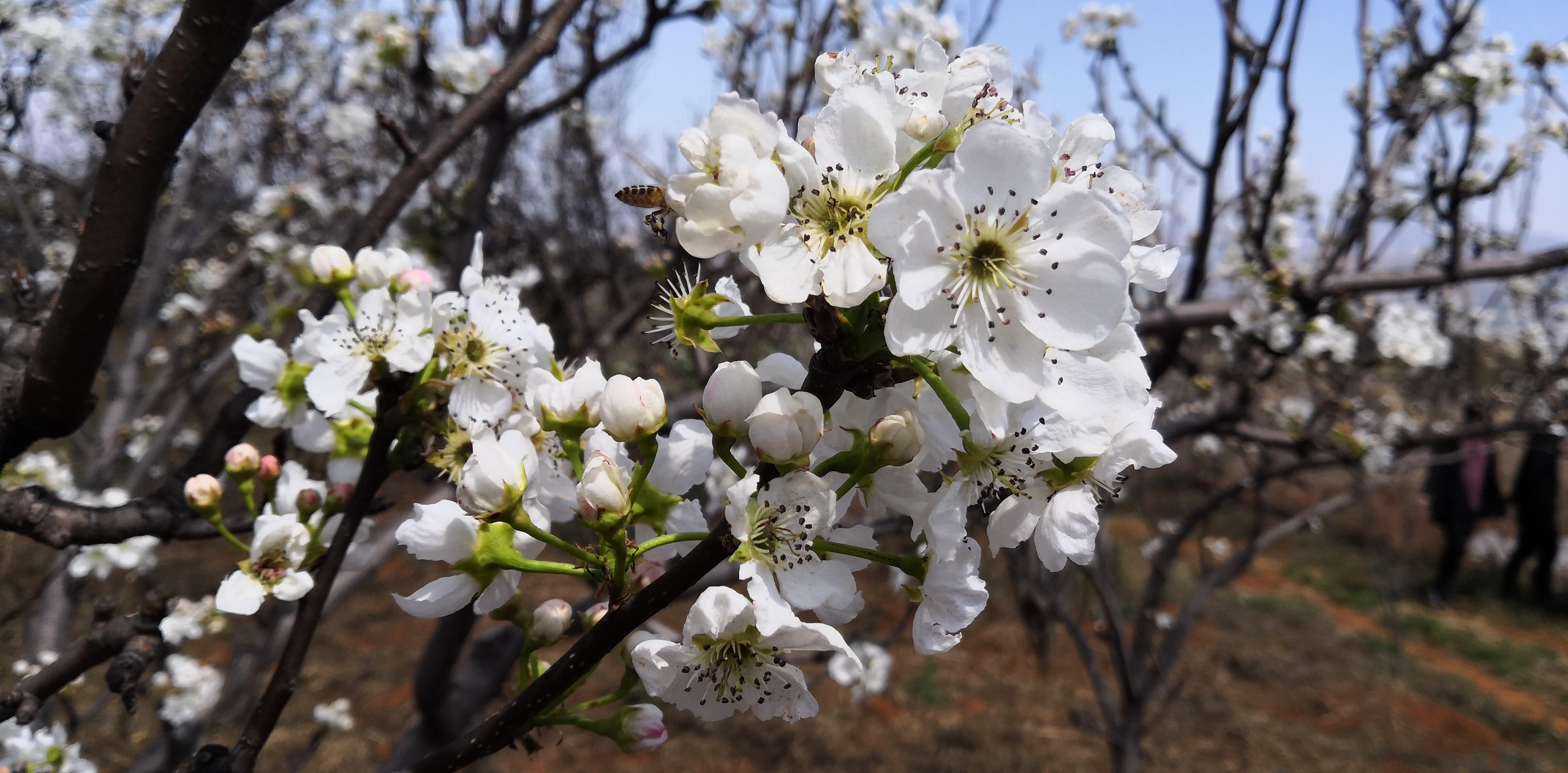 梨花朵朵向阳开